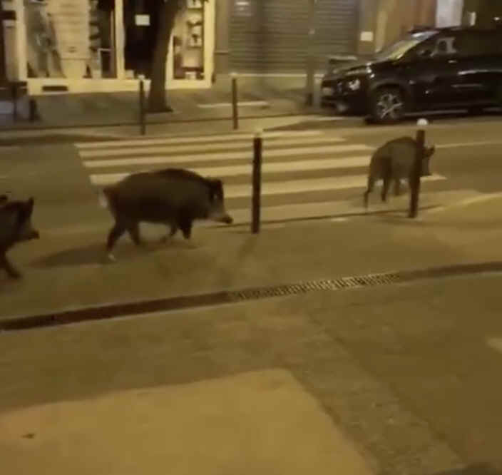 Wild boars in the streets of Paris.png (344581 bytes)